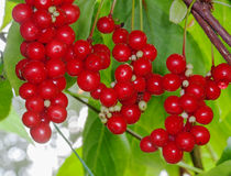 Grapes Schisandra autumn. In the garden royalty free stock photography