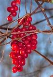 Grapes Schisandra autumn Royalty Free Stock Image