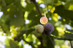 Grapes (selective focus) Royalty Free Stock Image