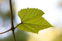 Grapes sheet Royalty Free Stock Photos