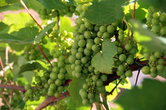 Grapes. A shot of ripe grapes on the vine Royalty Free Stock Photo