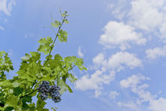 Grapes in the sky. Brunches of grapes on a blue sky royalty free stock photography