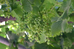 Grapes. Small green grapes growing on the vine. Fodele. Crete. Greece Stock Photos