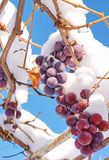 Grapes in the snow. Grapes covered with snow against the blue sky Royalty Free Stock Image