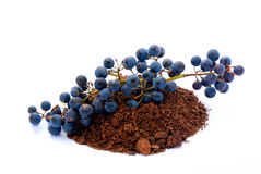 Grapes in soil Royalty Free Stock Images