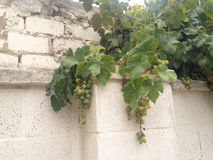 Grapes of Spain Royalty Free Stock Image