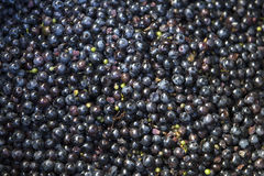 Grapes for a special wine Stock Image