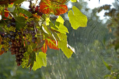 Grapes and spider web stock photos