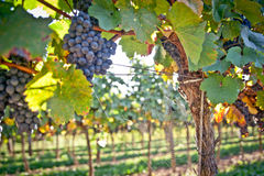 Grapes and Spiderweb Stock Photography