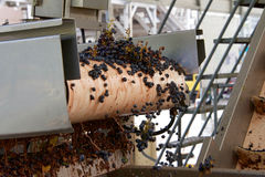Grapes spilling over edge of conveyer belt Royalty Free Stock Photos