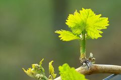 Grapes in spring Royalty Free Stock Photo