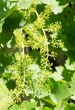 Grapes in spring in nature Stock Photography