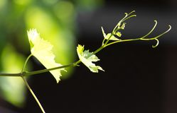 Grapes in spring in nature Stock Photo