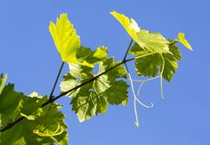 Grapes in spring in nature Stock Image