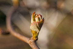 Grapes sprout. Some first leaves of the grapes, grown in a spring season Royalty Free Stock Photos
