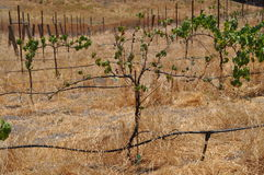 Grapes Struggling in Wine Country Royalty Free Stock Images