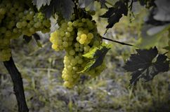 Grapes stylized Șarba - romanian variety royalty free stock images