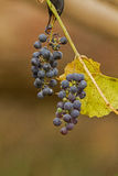 The grapes Royalty Free Stock Photos