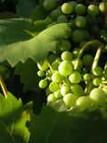 Grapes in the sun. Taken on a cool summer evening Stock Image