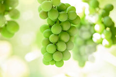 Grapes in the sun Royalty Free Stock Image