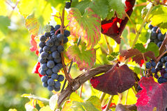 Grapes in the sun of october Royalty Free Stock Photos