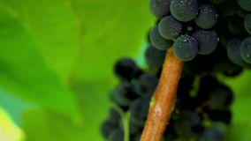 Grapes in sunlight. shot slider. stock video footage