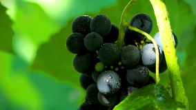 Grapes in sunlight. shot slider. Royalty Free Stock Photos
