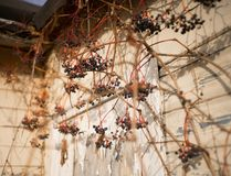 Grapes sunlight wall old house autumn day. Blue berries grapes wall old house autumn day sunlight bokeh background outdoor stock photos