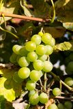 Grapes on a sunny day Royalty Free Stock Image