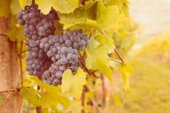 Grapes in sunset vineyard Stock Photos