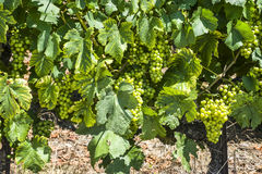 Grapes in Switzerland Stock Images