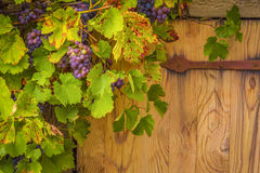 Grapes on their vines. Beautiful autumnal frame, close up with a bunch of red grapes on their vines, grown around an old house trap door Royalty Free Stock Photo