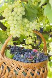 Grapes on tree with basket of grapes beneath Stock Images