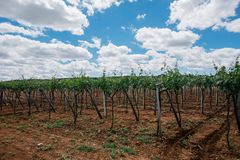 Grapes tree field in Apulia Italy royalty free stock image