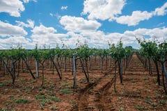 Grapes tree field in Apulia Italy royalty free stock photos