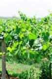 Grapes tree Stock Image