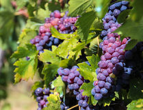 Grapes of Tuscany. Photo was taken in TuscanyChianti,Italy royalty free stock photography