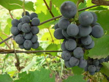 The grapes. The two bunches of grapes Royalty Free Stock Photo