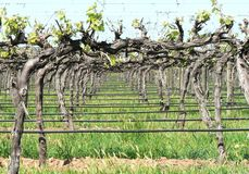 Grape Vines. Grapes are a type of fruit that grow in clusters of 15 to 300, and can be crimson, black, dark blue, yellow, green, orange, and pink. `White` grapes Royalty Free Stock Image