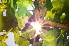 Grapes under the sun. Ray royalty free stock photo