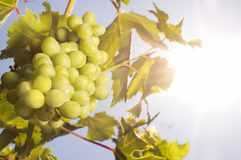 Grapes under the sun Royalty Free Stock Photos