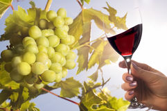 Grapes under the sun and glass of wine Royalty Free Stock Images