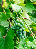 Grapes unripe green Royalty Free Stock Photo