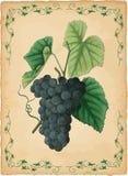 Grapes vector illustration stock illustration