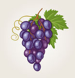 Grapes. Vector illustration of a bunch of grapes Stock Photos