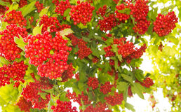 Grapes of Viburnum. Grapes of viburnum in the foliage stock photo