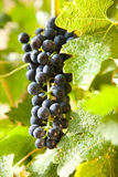 Grapes on a vine 10 Royalty Free Stock Photos