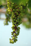Grapes on the vine. Green grapes on the vine Royalty Free Stock Photos