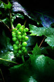 Grapes on the vine. White grapes following a summer storm Stock Photography