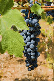 Grapes on a vine. A bunch of blue grapes growing on a vine Royalty Free Stock Images